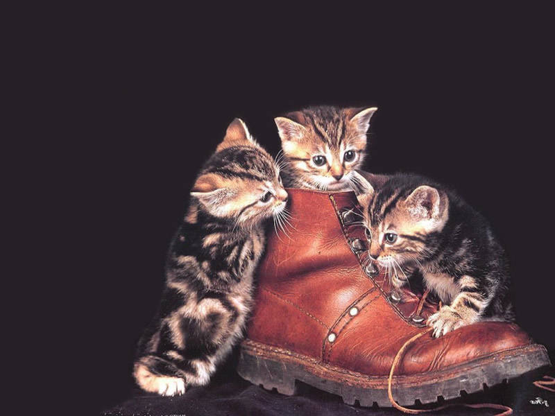 kittens in a shoe