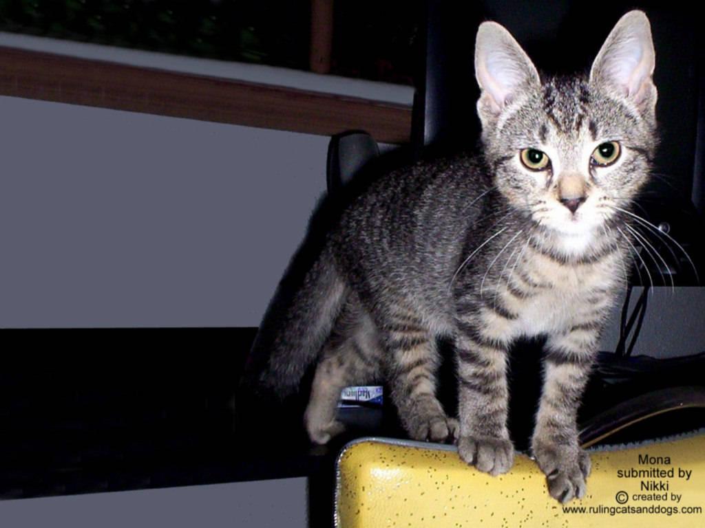 Pets Wallpapers Kitten Backgrounds Puppy Desktops