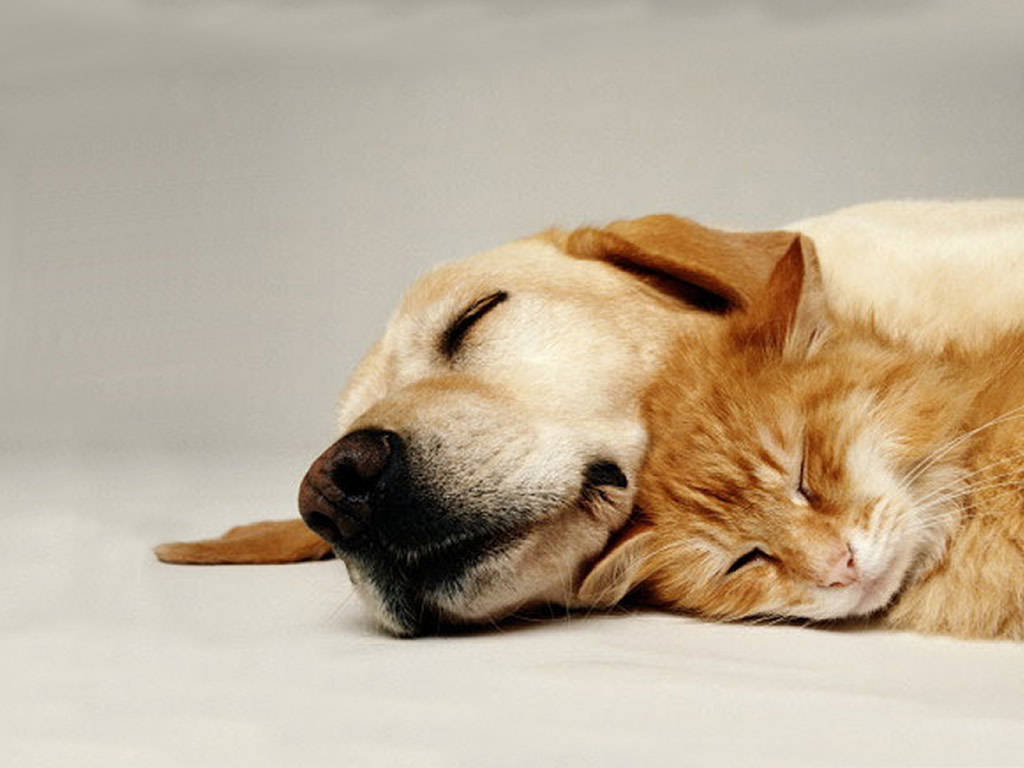 Cats And Dogs Backgrounds Pets Wallpapers